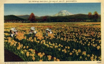 Picking Daffodils - Puyallup Valley, Washington WA Postcard