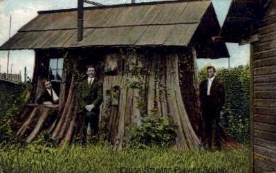 Cedar Stumps  - Puget Sound, Washington WA Postcard