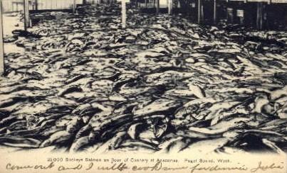 Sockeye Salmon - Puget Sound, Washington WA Postcard