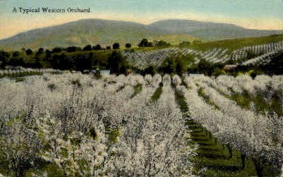 A Typical Western Orchard - Misc, Washington WA Postcard