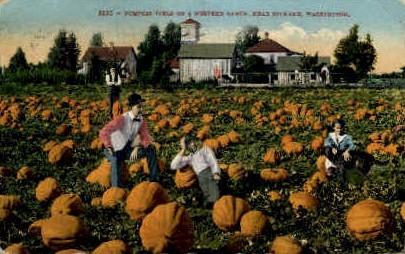 Pumpkin Field - Spokane, Washington WA Postcard