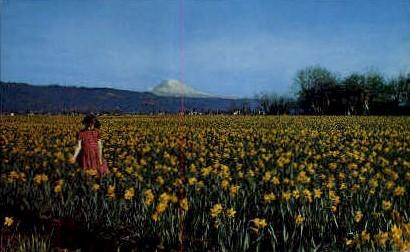 Mt. Rainier and Daffodil Fields - Mt Rainier, Washington WA Postcard