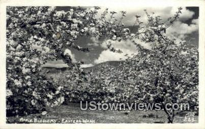 Real Photo - Apple Blossom - Eastern Washington Postcards, Washington WA Postcard