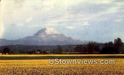 Daffodil Farms - Mt Rainier, Washington WA Postcard