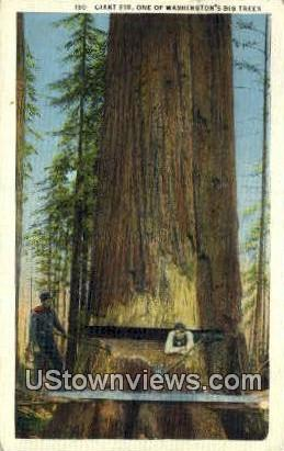 Giant Fir Tree - Washington Forest Postcards, Washington WA Postcard