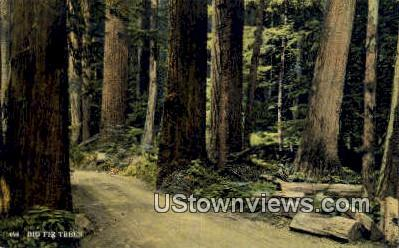 Big Fir Trees - Washington Forest Postcards, Washington WA Postcard