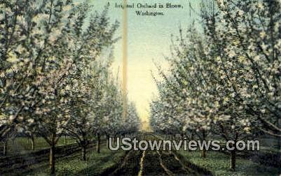 Irrigated Orchard - Misc, Washington WA Postcard