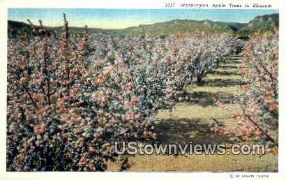 Washington Apple Trees - Misc Postcard