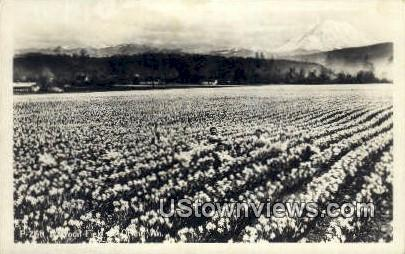 Real Photo - Dafodil Field - Misc, Washington WA Postcard