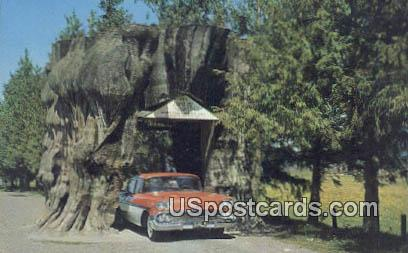 Giant Cedar Stump - Misc, Washington WA Postcard