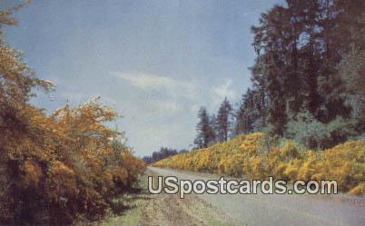 Scotch Broom - Pacific Northwest, Washington WA Postcard