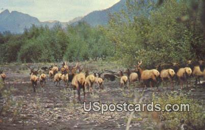 Roosevelt Elk - Pacific Coast, Washington WA Postcard
