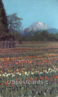 Tulip Fields - Puyallup Valley, Washington WA Postcard