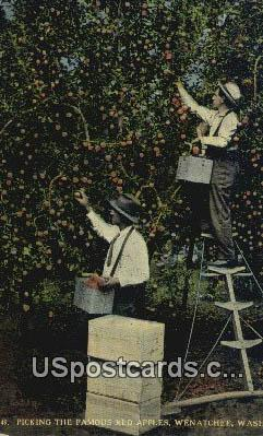 Picking Red Apples - Wenatchee, Washington WA Postcard