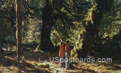 Rain Forest - Olympic Peninsula, Washington WA Postcard