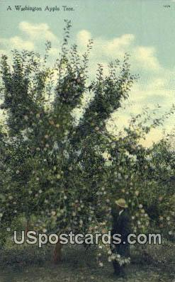 Apple Tree - Misc, Washington WA Postcard
