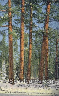Pine Timber - Pacific Northwest, Washington WA Postcard