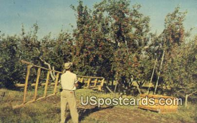 Apple Picking - Misc, Washington WA Postcard