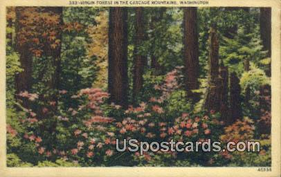 Virgin Forest - Cascade Mountains, Washington WA Postcard