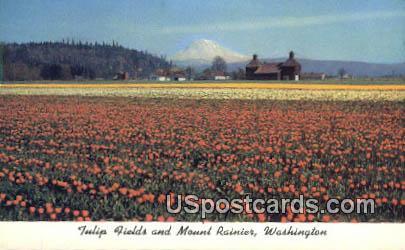 Tulip Fields - Mt Rainier, Washington WA Postcard