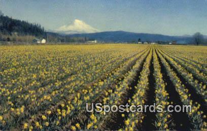 Daffodils - Mt Rainier, Washington WA Postcard