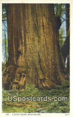 Giant Cedar, WA Postcard      ;      Giant Cedar, Washington