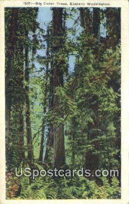 Big Cedar Trees - Eastern Washington Postcards, Washington WA Postcard