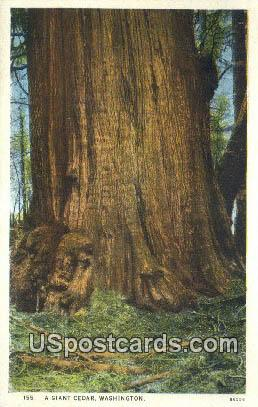 Giant Cedar - Misc, Washington WA Postcard