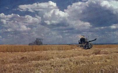 Wheat Harvest - Tacoma, Washington WA Postcard