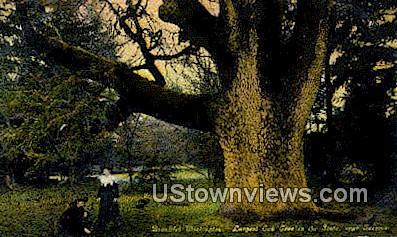 Largest Oak Tree - Tacoma, Washington WA Postcard