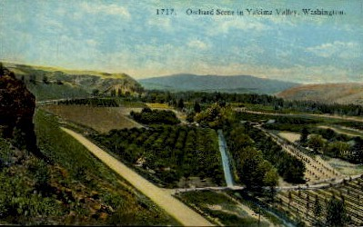 Orchard - Yakima, Washington WA Postcard