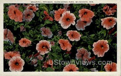 Petunias - MIlwaukee, Wisconsin WI Postcard