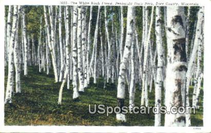 White Birch Forest - Door County, Wisconsin WI Postcard
