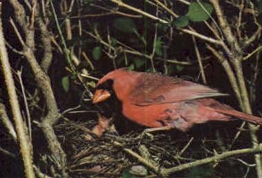 Cardinal  - MIsc, West Virginia WV Postcard