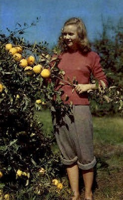 Apple Orchard - MIsc, West Virginia WV Postcard