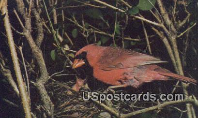 Cardinal - State Bird, West Virginia WV Postcard
