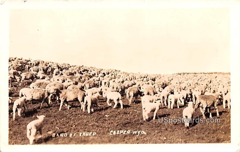 Band of Sheep - Casper, Wyoming WY Postcard