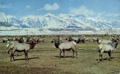 Grand Jackson Hole Elk Herd - Wyoming WY Postcard