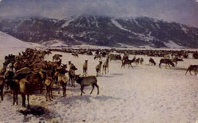 National Elk Refuge - Jackson Hole, Wyoming WY Postcard