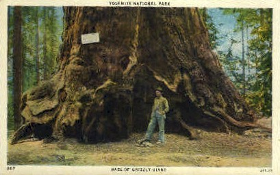 Base of Grizzly Giant - Yellowstone National Park, Wyoming WY Postcard
