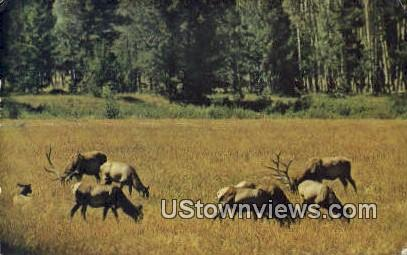 Elk Herd - Misc, Wyoming WY Postcard