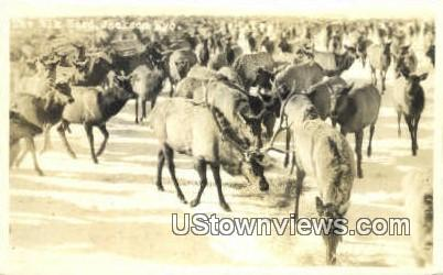 Real Photo The Elk Heard - Jackson, Wyoming WY Postcard