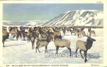 Elk Herd - Jackson, Wyoming WY Postcard