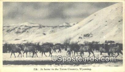 Elk - Teton Country, Wyoming WY Postcard