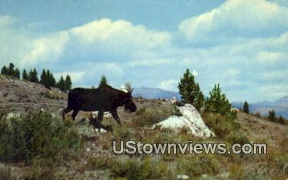 Bull Moose - Yellowstone National Park, Wyoming WY Postcard