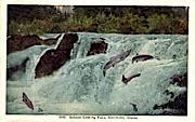 Salmon Leaping  - Ketchikan, Alaska AK Postcard