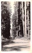 Highway Through the Timber - Columbia Highway, Washington WA Postcard
