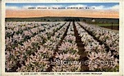 Cherry Orchard In Full Bloom - Sturgeon Bay, Wisconsin WI Postcard