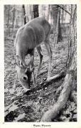 Deer - Wausau, Wisconsin WI Postcard