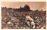 Sheep on Range - Laramie, Wyoming WY Postcard